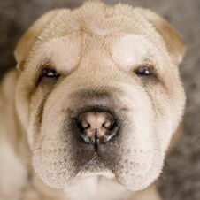 Free Sad Puppy Portrait Stock Photography - 2271832