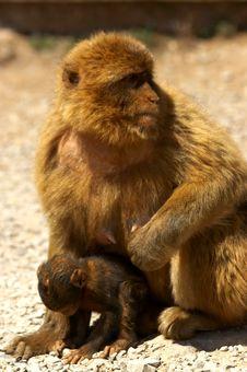 Free Monkey Family Royalty Free Stock Photos - 2272328