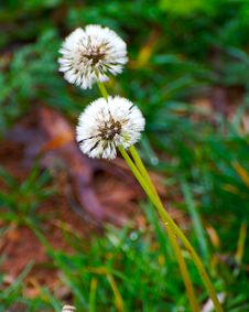 Free Dandelion Royalty Free Stock Photo - 2272575