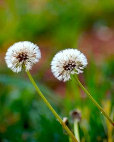 Free Dandelion Stock Photos - 2272603