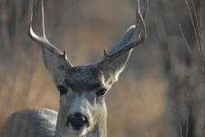 Free Mule Deer Buck Stock Photo - 2273500
