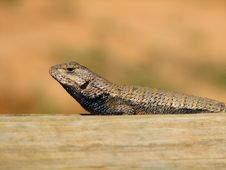 Free Wild Fence Lizard 3 Stock Image - 2273521