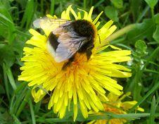 Free Bumblebee Stock Photo - 2273560