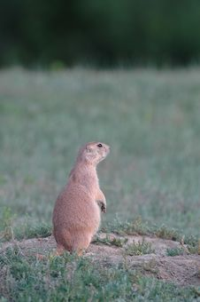 Free Black-tailed Prairie Dog Royalty Free Stock Image - 2273566
