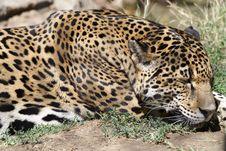 Jaguar Royalty Free Stock Images