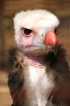 Free Vulture Stock Photos - 2274363