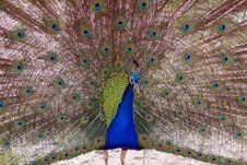 Free Beautiful Peacock Royalty Free Stock Photos - 2274438