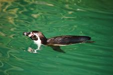 Free Swimming Penguin Stock Images - 2275114