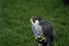 Free Peregrine Falcon Royalty Free Stock Photography - 2276317