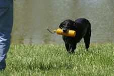 Free Retriever Royalty Free Stock Photography - 2276347