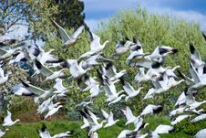 Free Flock Of Snow Geese Stock Photo - 2276740
