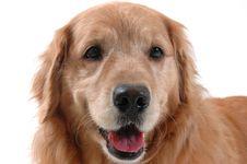 Free Happy Golden Retriever Stock Photography - 2276912