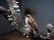 Free Sparrow. Stock Images - 2278004