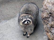 Free Raccoon. Stock Image - 2278031