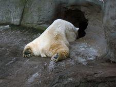 Free Polar Bear. Stock Photo - 2278040