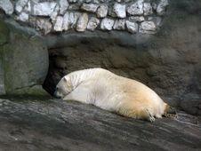 Free Polar Bear. Stock Photos - 2278083
