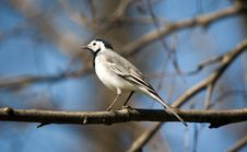 Free Wagtail Royalty Free Stock Image - 2279236