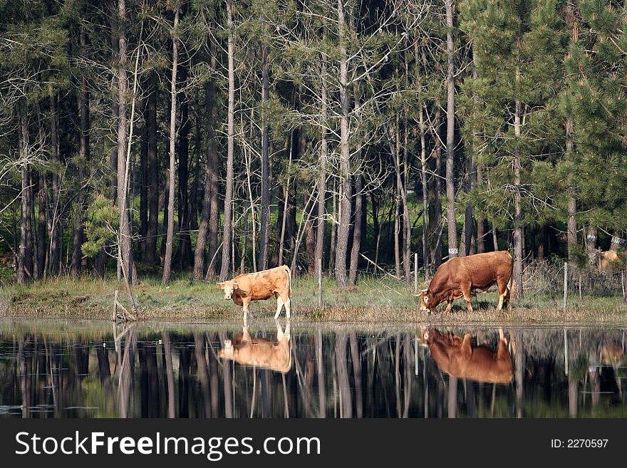 Two cows reflex