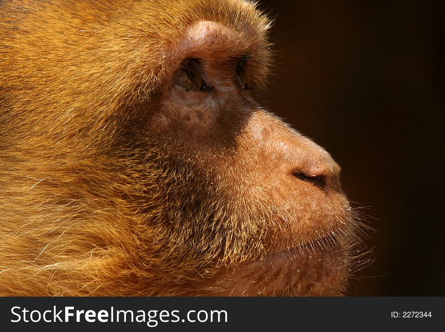 The glance of the monkey