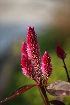 Free Celosia Bud Royalty Free Stock Photos - 22701088