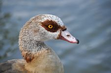 Free Egyptian Goose, Alopochen Aegyptiacus Stock Image - 22703251