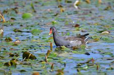 Free Common Moorhen, Gallinula Chloropus Stock Image - 22703331