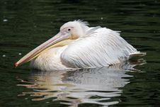 Free Pelican Stock Image - 22704401