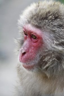 Free Macaque Stock Images - 22704434