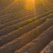 Free Agricultural Plants On Field With Sunlight Stock Photo - 22704680