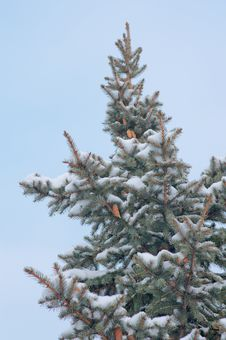 High Spruce Branch Binding Elastic Snow Stock Photography