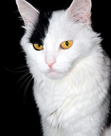 Free Portrait Of A White Cat On A Black Background... Stock Photos - 22705933