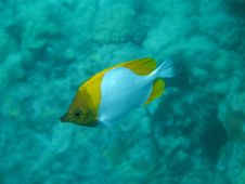Free Pyramid Butterflyfish Royalty Free Stock Photography - 22710357