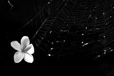 White Flower Stuck In Spider Net Royalty Free Stock Photography