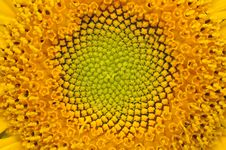 Middle Of Sunflower Close-Up Royalty Free Stock Images