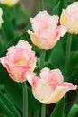Free Tulips Flowers Stock Photos - 22721623