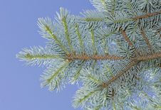 Blue Spruce Branch. Stock Photo