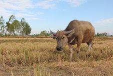 Little Buffalo Stock Photos