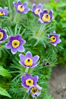 Free Pulsatilla Flowers Stock Photo - 22721650