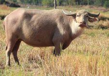 Free Albino Buffalo Stock Photos - 22726353