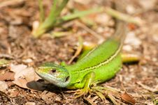 Free Lacerta Viridis Stock Photo - 22728820