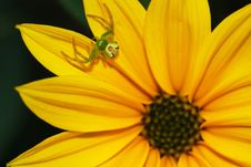 Free Spider On Flower Genus Misumena Stock Image - 22730741