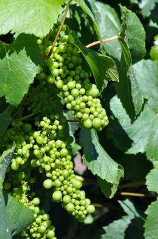 Free Closeup Of Fresh Green Grapes Stock Image - 22741801