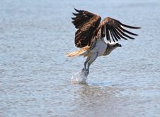 Free An Osprey Takes Off From A Tidal Pool Royalty Free Stock Photography - 22743607