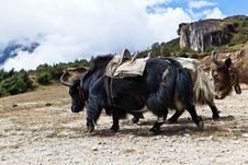Free Yak Farm In Himalayas, Nepal Stock Images - 22744764