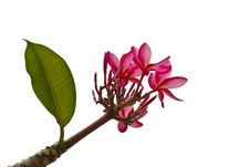 Free Plumeria Flower Stock Photos - 22745263
