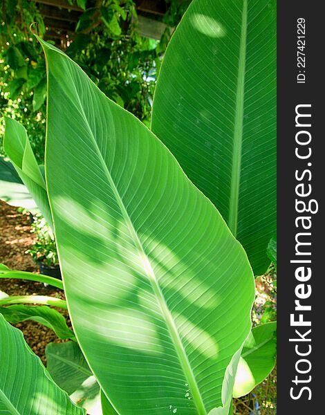 Musella lasiocarpa leaves