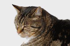 Gray House Cat Royalty Free Stock Photos