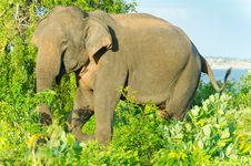 Free Adult Male Indian Elephant In The Wild Stock Photo - 22750570