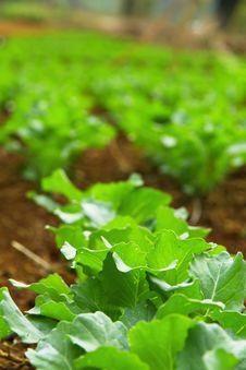 Free Chinese Kale Vegetable In Garden Royalty Free Stock Photography - 22750647
