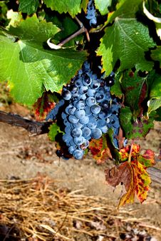 Free Grapes On Vine In California Vineyard Royalty Free Stock Photography - 22753027